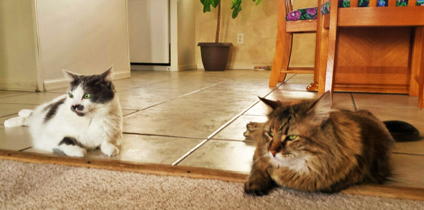 black and gray cat and Norwegian Forest cat sitting on a kitchen floor