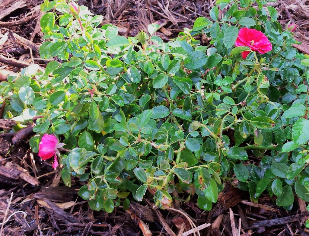 pink rose bush, close up