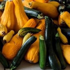 large squash harvest