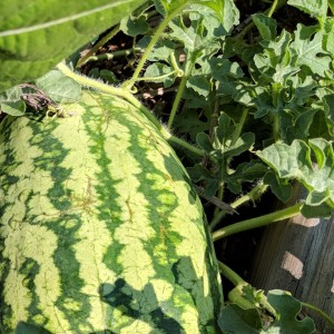 large watermelon growing in a garden bed