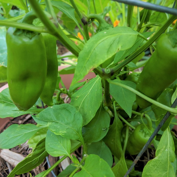 three green peppers growing in a garden bed