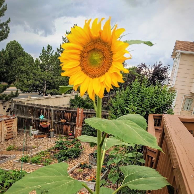 giant yellow sunflower in a vegetable garden