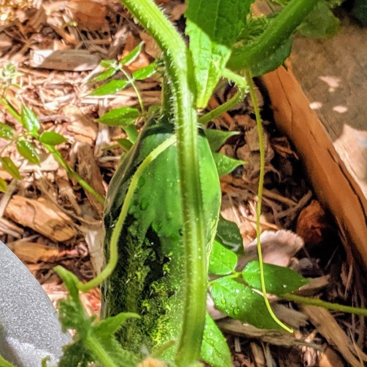 one cucumber on a garden bed
