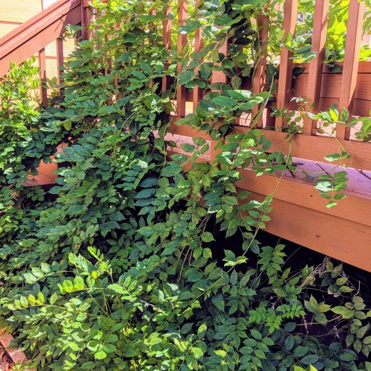 wisteria vine growing on deck