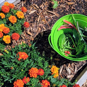 marigolds in a garden bed next to a green basket of strawberries, kale, and green beans