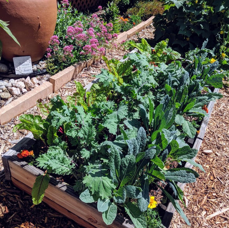 kale and chard growing in a garden bed