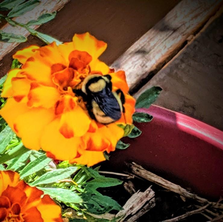 one bumblebee on a marigold