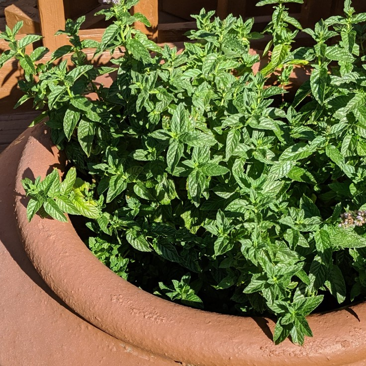 mint growing in a large pot in the garden