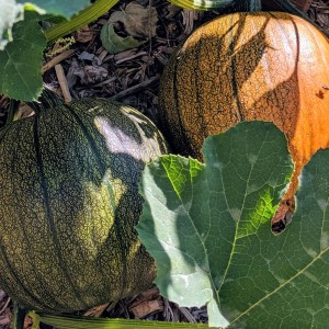 one green and one orange pumpkin on a pumpkin vine in a garden bed
