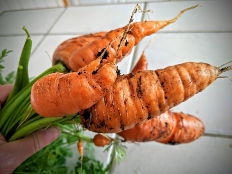 fresh carrots from a vegetable garden