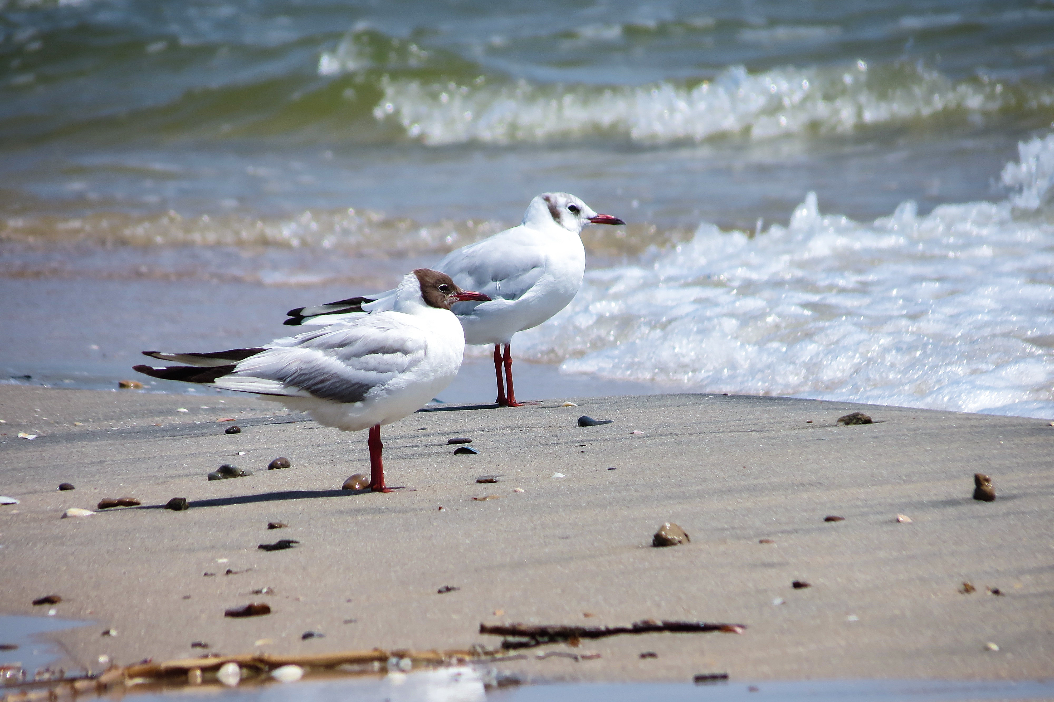 two seagulls at on the sand with waves