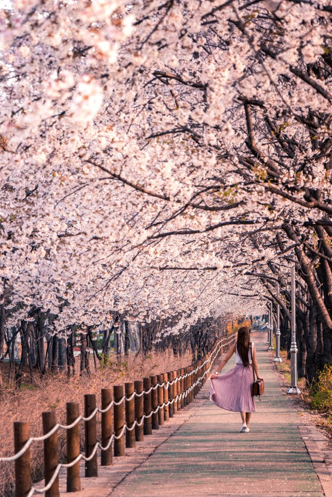 beautiful light pink-flowered trees lined in a row with a young woman walking on a wooden walkway wearing a pink skirt and a briefcase
