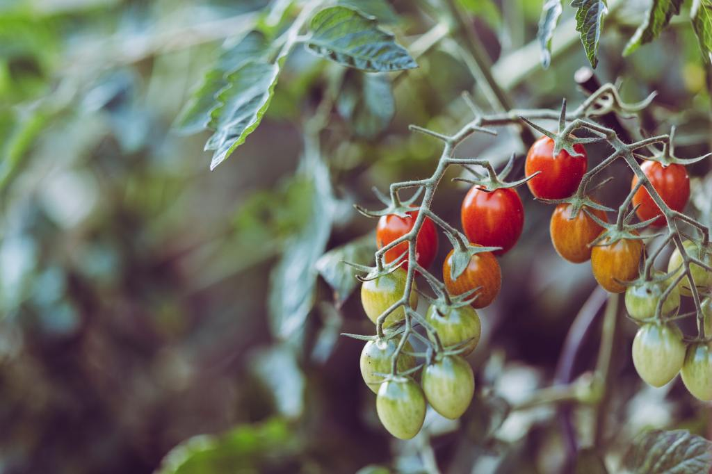 small tomatoes growing on the vine