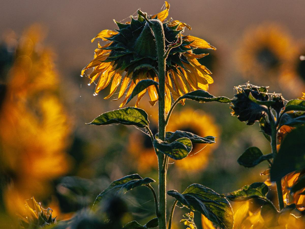 drooping sunflower dying in a sunflower field